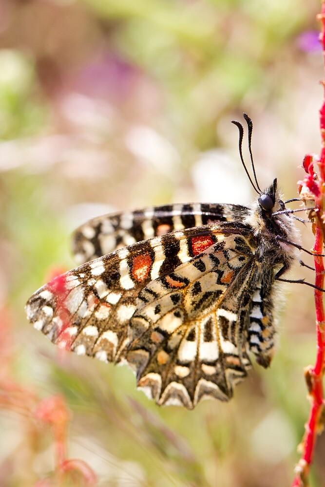 Spanish festoon butterfly (Zerynthia rumina) by Mauro Rodrigues