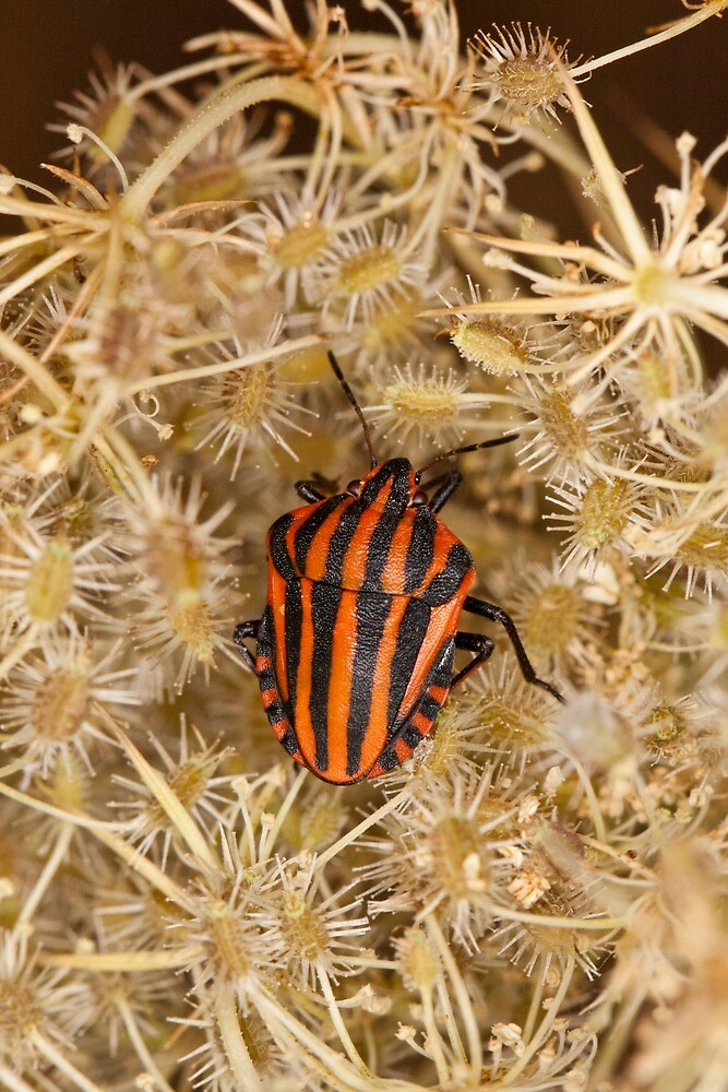 Striped shield bug by Mauro Rodrigues