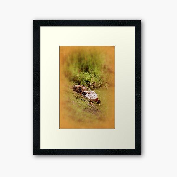 ducks feeding at Trojan pond, near Goble, Oregon Framed Art Print