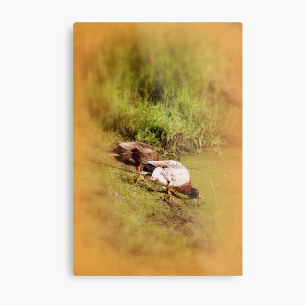 ducks feeding at Trojan pond, near Goble, Oregon Metal Print