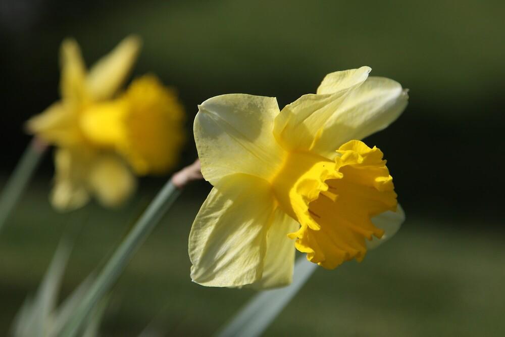Daffodil by blueinfinity
