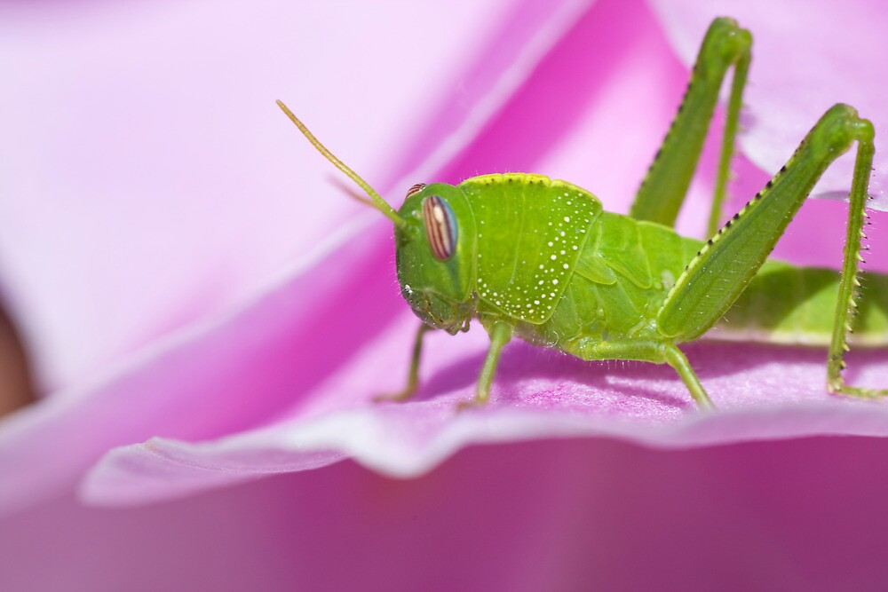 Green grasshopper by Mauro Rodrigues