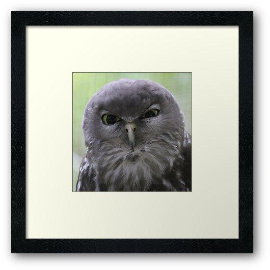 Barking Owl by ourwildlife