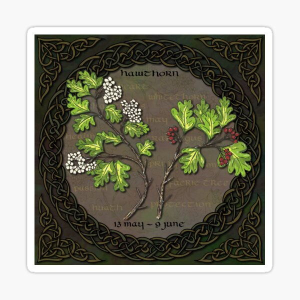 Celtic Tree Calendar - Hawthorn Sticker