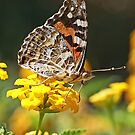 Painted Lady Butterfly by robynart