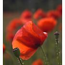 ❤❤❤ As you know ,  I love colorful poppies !  Featured in The Silky Touch &  Colour and light . Mon Dieu ! Merci  bien ! Amen. by © Andrzej Goszcz,M.D. Ph.D