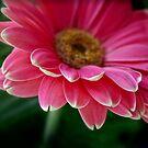 Gerbera in pink by Robyn Selem