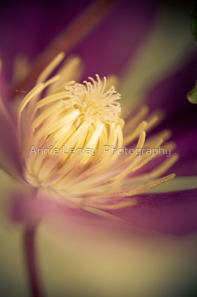 Clematis by Annie Lemay  Photography