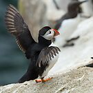 Stretching my wings, puffin, Saltee Islands, County Wexford, Ireland by Andrew Jones