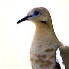 White-winged Dove by freevette
