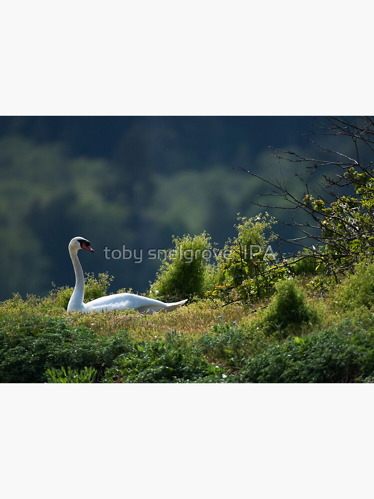 Swan in the Grass by tobysnelgrove