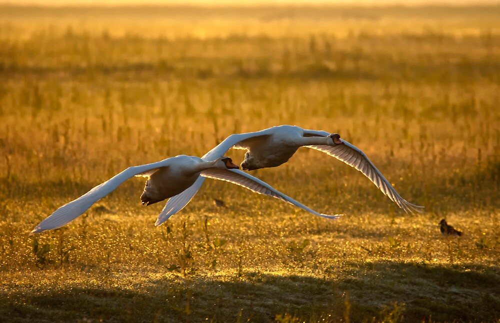 Low flying swaans by THHoang