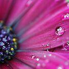 Purple Osteospermum Macro by Astrid Ewing Photography