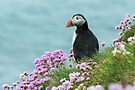 Puffin in pinks, Saltee Island, County Wexford, Ireland by Andrew Jones
