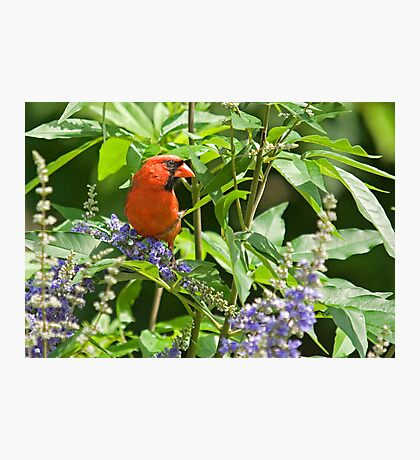 Cardinal Among the Texas Lilacs Photographic Print