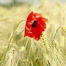 Poppy 2012 by Falko Follert
