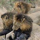 A real life live lion kill! by Anthony Goldman