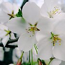 Cherry Blossoms 4 by photonista