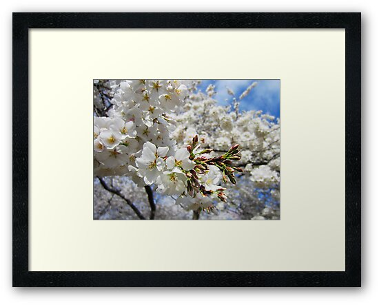 Cherry Blossoms 11 by photonista
