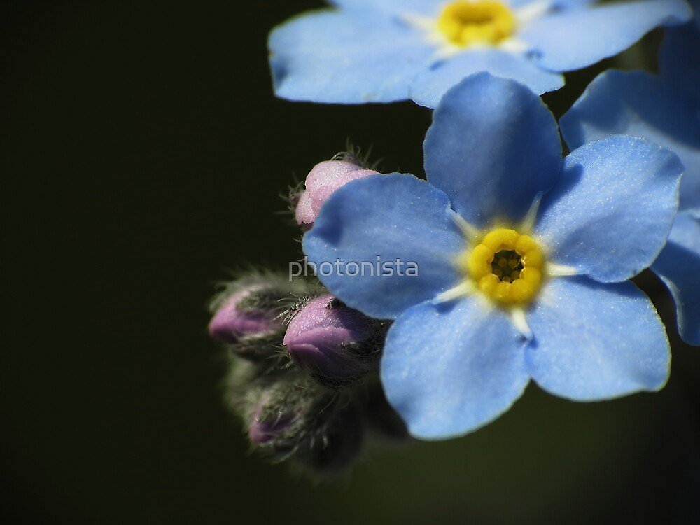 Forget-Me-Nots 1 by photonista