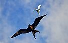 Frigatebird Chasing Tern by thatche2