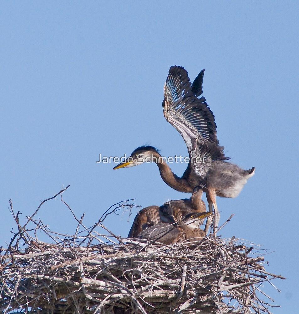 Blue Heron Chick by Jarede Schmetterer