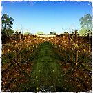 View through the grapevines by Jenny Clift
