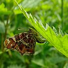 Ovipositing Map Butterfly by Robert Abraham