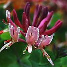 Honeysuckle in the rain  by Kyoko Beaumont