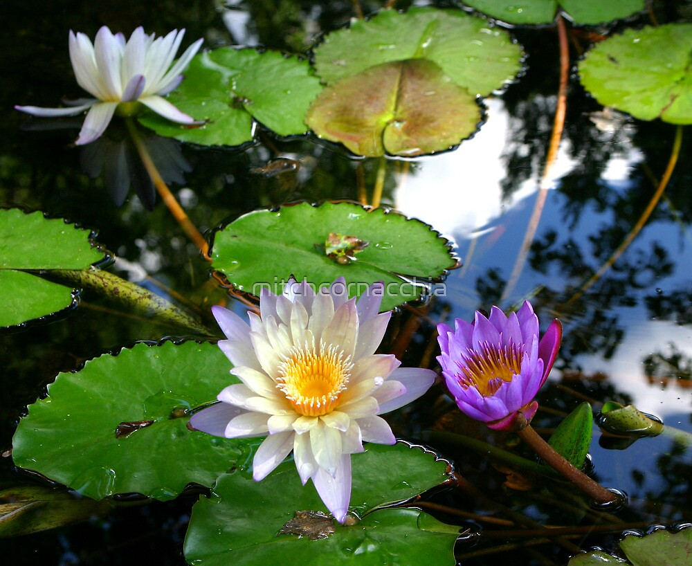 lillypad flowers by mitchcornacchia