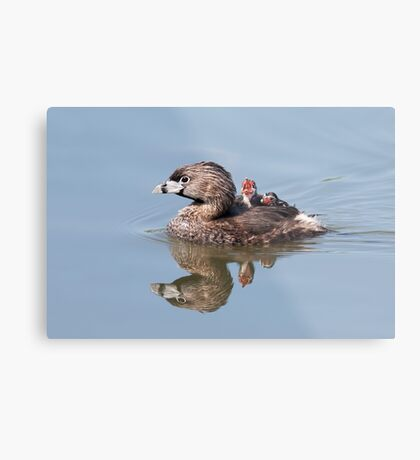 """Mom!...Timmy won't move over!"" Pied-billed grebes Metal Print"