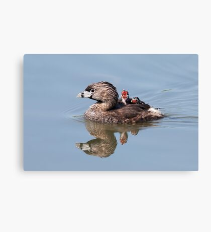 """Mom!...Timmy won't move over!"" Pied-billed grebes Canvas Print"