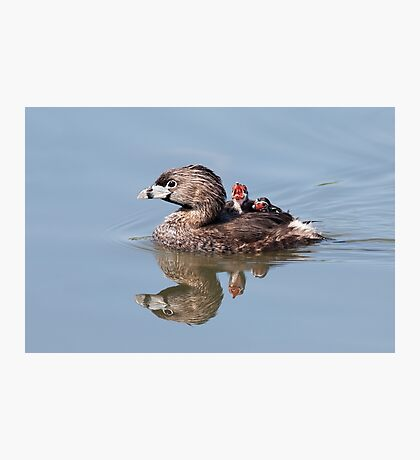 """""""Mom!...Timmy won't move over!"""" Pied-billed grebes Photographic Print"""