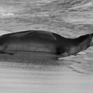 Barking Hawaiian Monk Seal by thatche2