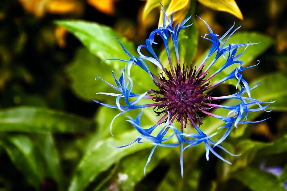 Cornflower Opening by Vicki Field
