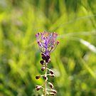 Il fiore dei Malaspina by Sebastian Ratti