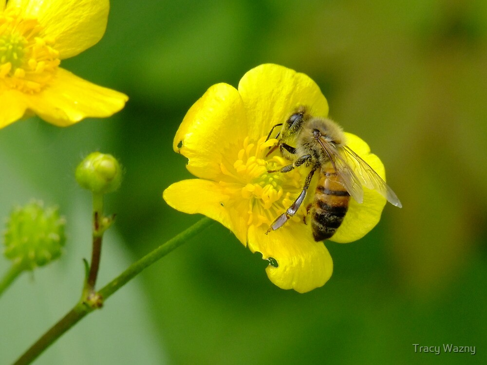 The Bee And The Buttercup by Tracy Wazny