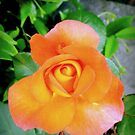 Orange rose by bubblehex08