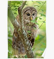 Peek a Boo Owl Poster