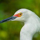 Snowy Egret by Daniel  Parent