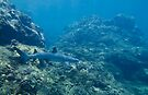 White Tip Reef Shark Patrolling the Napali Coast by thatche2