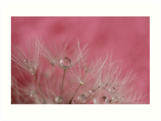 Dandelion seeds and droplets in pink by Photos - Pauline Wherrell
