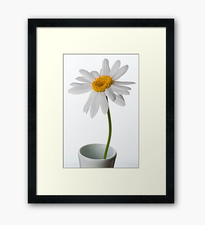 White Chrysanthemum 1 Framed Print