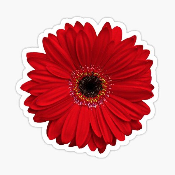 red gerbera gerber daisy flower floral sticker Sticker