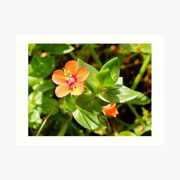 Scarlet Pimpernel - Anagallis arvensis L. Art Print