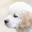 Labrador Puppy by John Lines