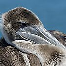 "Pelican on Santa Cruz Wharf by Christine ""Xine"" Segalas"