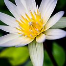 Water Lily by TyTheTerrible