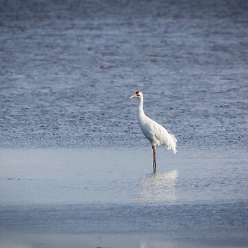Adult Whooping Crane 2015-1 by Thomasyoung