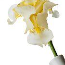 White Iris 2 by Jacinthe Brault